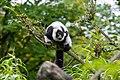 Lemur (26245241729).jpg
