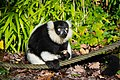 Lemur (26245337659).jpg