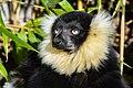 Lemur (26726520308).jpg