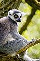 Lemur (39822747860).jpg