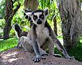 Lemur en España.JPG