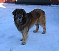 Leonberger from Norway.JPG