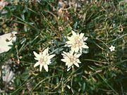 Stelle alpine(Leontopodium)Giardino alpino Saussurea