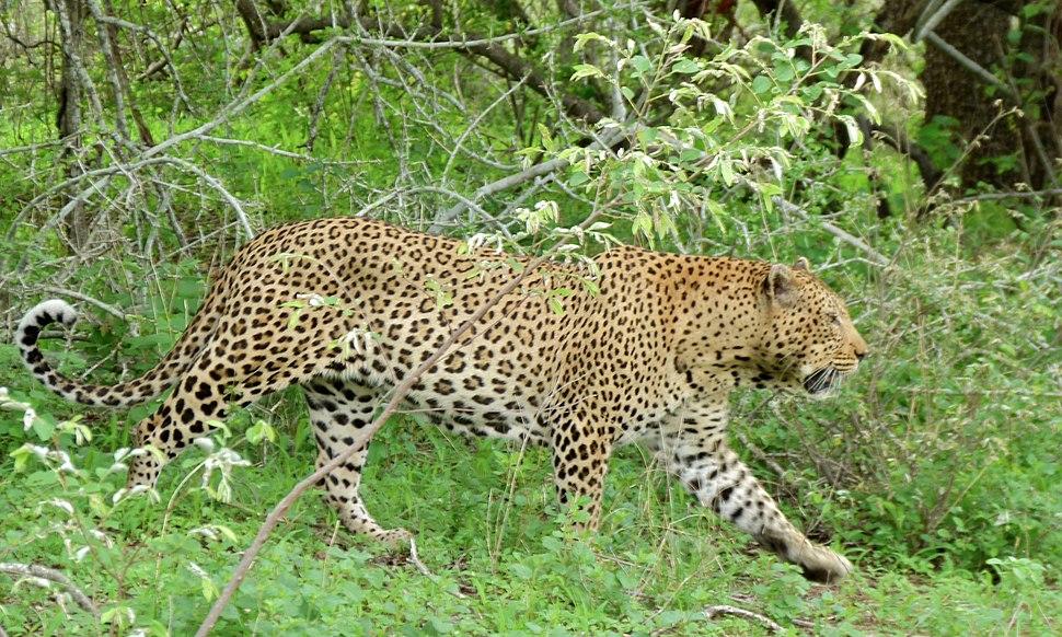 Leopard (Panthera pardus) male (6001436301)