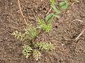 Lepdium perfoliatum (4049540295).jpg