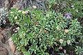 Lepechinia calycina - Regional Parks Botanic Garden, Berkeley, CA - DSC04517.JPG