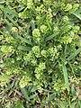 Lepidium densiflorum plant (01).jpg
