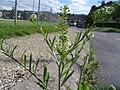 Lepidium virginicum 2006-06-19.jpg