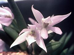 Leptotes unicolor Orchi 01.jpg