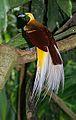 Lesser Bird of Paradise.jpg