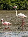Lesser and Greater flamingo .jpg