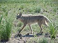 Leymus cinereus and coyote (5823379836).jpg