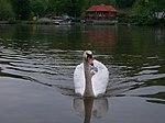 Libčice nad Vltavou, labuť u přívozu.jpg