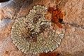 Lichen Tashi Gang Spiti Himachal Jun18 D72 7606.jpg
