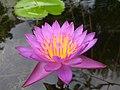 Light purple lotus opening.jpg