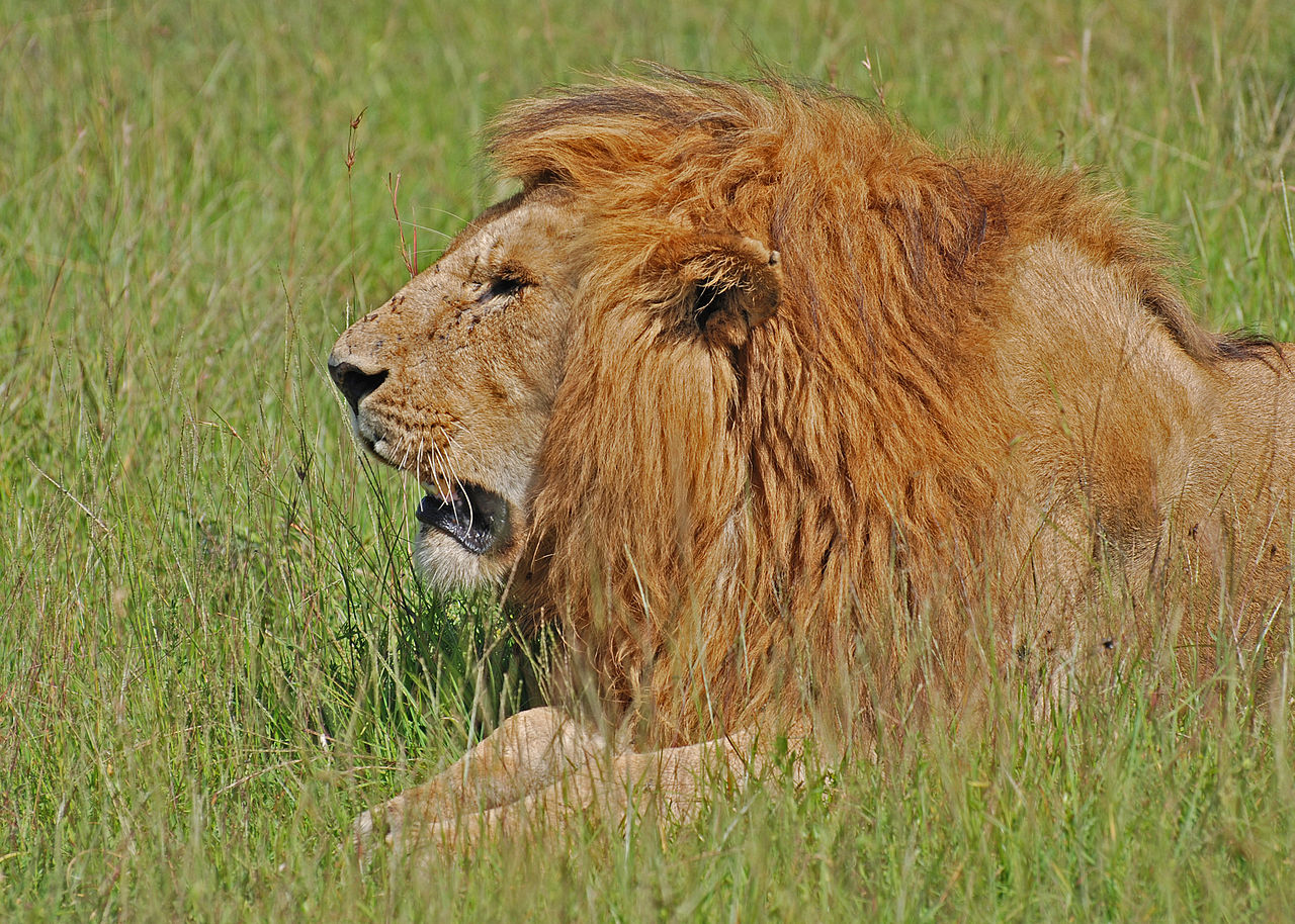 Lion, Masai Mara. Credit: Paul Mannix.