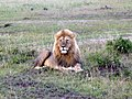 Lion. Maasai Mara National Park - panoramio.jpg