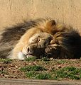 Lion 006.jpg
