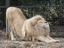 Lion stretching at Ouwehands 2010.JPG