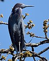 Little Blue Heron (crop experimentation) (32106269980).jpg