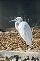 Little egret (Egretta garzetta) 13.jpg