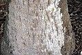 Livistona chinensis 3zz.jpg