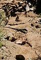 Lizard (2719237443).jpg