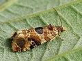 Lobesia reliquana (39480657790).jpg