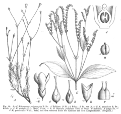 Loganiaceae spp EP-IV2-018.png