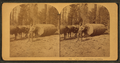 Logging in Northern California, from Robert N. Dennis collection of stereoscopic views.png