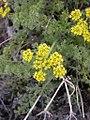 Lomatium grayi flower-3-11-05.jpg
