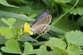 Long-tailed Blue (Lampides boeticus) (15510800512).jpg