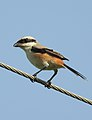 Long-tailed Shrike Lanius schach by Dr. Raju Kasambe DSCN1683 (5).jpg