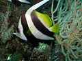 Longfin Bannerfish (5663759042).jpg