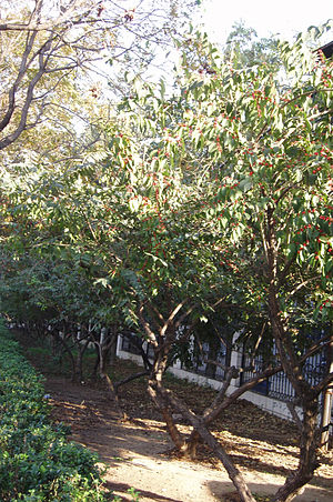Lonicera maackii - Lonicera maackii planted as a hedge