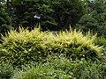 Lonicera nitida aurea before pruning.JPG