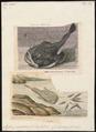 Lophius piscatorius - 1700-1880 - Print - Iconographia Zoologica - Special Collections University of Amsterdam - UBA01 IZ13600185.tif