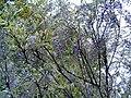 Lots of buds (151269548).jpg