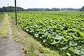 Lotus field in Namegata, Ibaraki 09.jpg