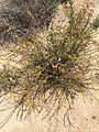 Lotus scoparius, common deerweed 2.jpg