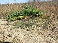 Lotus tenuis sl11.jpg