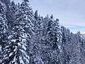 Luchon Superbagneres neige dans les arbres - 2016a.jpg