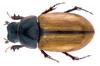 File:Lunaphodius lunifer Solsky, 1876 Syn.- Aphodius (Lunaphodius) lunifer Solsky, 1876 (34159075995).png