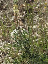 Lupinus gredensis 20130503 b.jpg