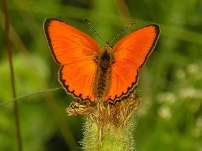 Dukatenfalter (Männchen)(Lycaena virgaureae)