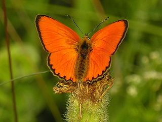 Scarce copper species of insect