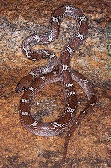lycodon aulicus wikipedia