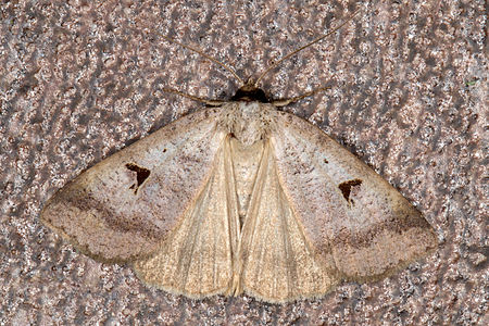 Lygephila pastinum, Lodz(Poland)01(js).jpg