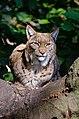 Lynx (22195411560).jpg
