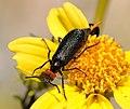 Lytta sp. (F. Meloidae) (3298339795).jpg